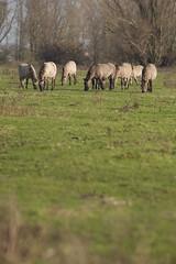 Ger_Loeffen_20101122_0154 (overenweer) Tags: holland netherlands europa europe nederland beuningen gelderland konik nld konikpaarden konikpaard gerl2010