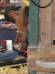 Goshen Fair 2015 (caboose_rodeo) Tags: 728 dairycattle ctagfairs