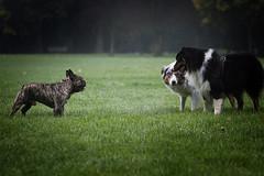 Face to face... (Juliette Plus) Tags: autumn light dog chien dogs colors automne lights evening australian australien aussie chiens matin aussies dogphotography berger meute doglover australiens shepeherd autra dogfotografie