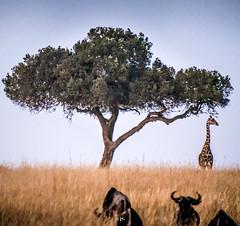 DSC_2348 (Jorge kaplan) Tags: africa nikon kenya safari mara d750 nikkor kenia masai 28300mm masaimara