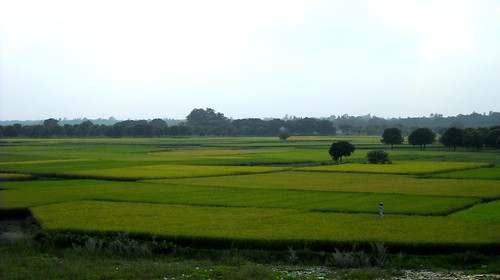 Paddy fields - West Bengal