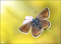 La energia de la vida (- JAM -) Tags: naturaleza flower macro nature insect nikon flor explore jam mariposas d800 insecto macrofotografia explored lepidopteros juanadradas