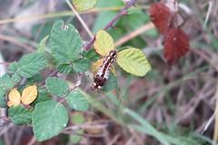 Oruga en la zarza (esta_ahi) Tags: barcelona españa insectos fauna spain lepidoptera caterpillar larvae larva rubus oruga rosaceae zarza испания vilafrancadelpenedès esbarzer