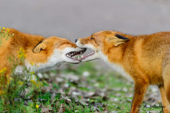 Friendly bite (a3aanw) Tags: fox foxes vos amsterdamsewaterleidingduinen nikond800