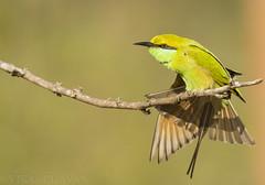 Green Bee-eater. (Vikas.B.Chavan) Tags: nikon ngc 300mm npc ii tc nikkor afs ifed 17e f4d d7100 naturethroughthelens