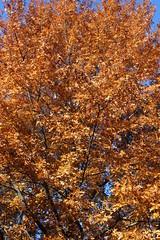Oak Tree with Fall Foliage (pegase1972) Tags: autumn canada tree fall nature automne oak quebec foliage qubec shutter montrgie licensed monteregie rf123