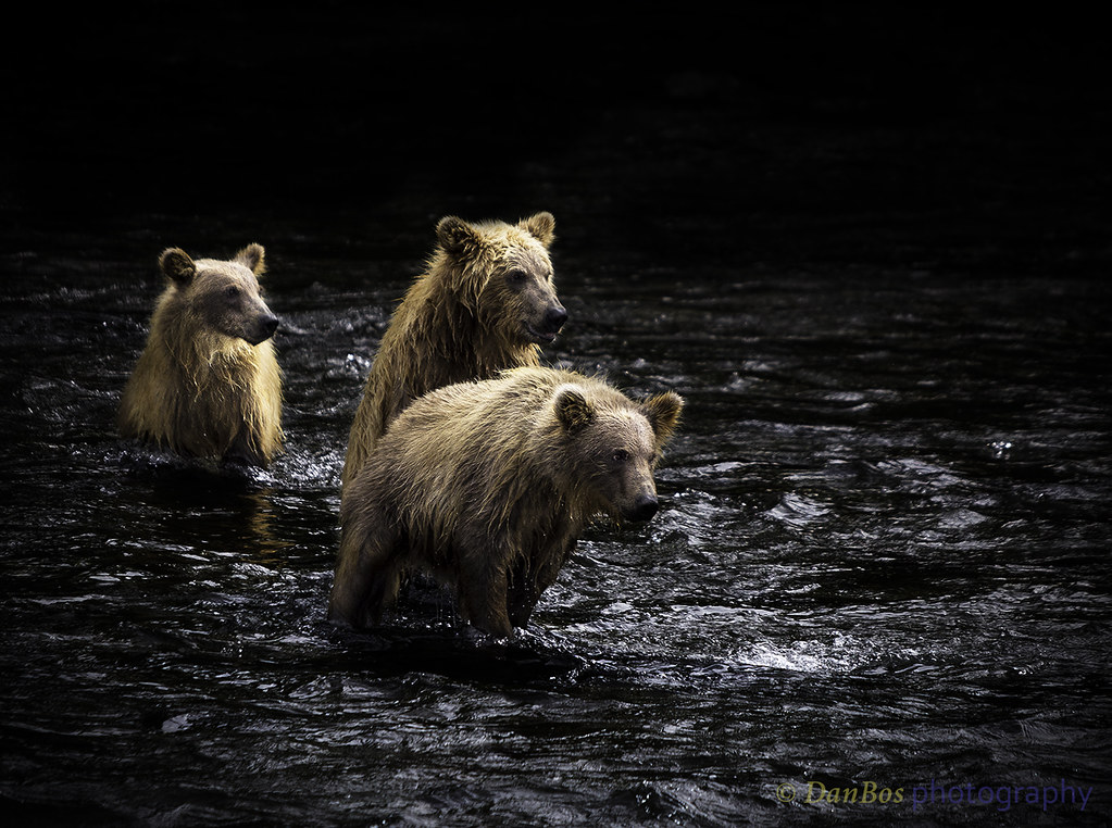 Brown Bear Cubs - three Musketeers ready for Adventure