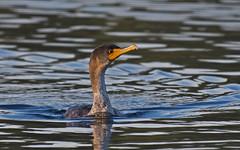 Double-crested Cormorant (nickinthegarden) Tags: doublecrestedcormorant milllakepark abbotsfordbccanada