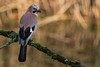 Jay (Steve Nelmes Photography) Tags: animal avian birds cameragear canon14xteleconverter canon100400ismk2 canon1dx corvid feathered forestfarm jay nature stevenelmesphotography wales wildanimal wildbird wildlife