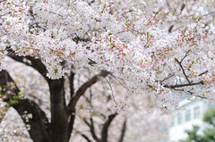 White Sakura or Japan cherry blossom branches, which will fully blooming in spring season (Anusorn Sutapan) Tags: park pink sky plant flower tree nature japan garden season cherry japanese spring blossom background petal cherryblossom environment sakura cherryblossoms blooms treebranches springflowers cherrytree springtime blossomtree springgarden cherryblossomtree sakuraflower sakuratree sakurablossom sakurabranch blossomwhite blossombranch cherryblossombranch blossomcherry blossomingtreebranches