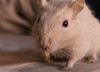 Gerbil (Alessandro Gianolla) Tags: red pet white animal gerbil rodent eyes occhi albino bianco rossi animale gerbillo meriones unguiculatus roditore