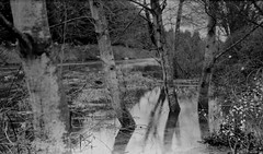 High Water (bac1967) Tags: camera trees bw white black tree film water monochrome river for mono 1 washington high flood kodak 5 semi monitor hour 1984 wa medium format pan asa photographed rodinal expired slough developed development exposed 1100 develop 125 616 woodinville sammamish engulfed six16 verichrome adonal vp616 standsemistand