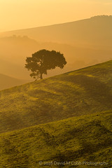 Tuscan Lone Tree (David M. Cobb) Tags: morning backlight backlighting glow light italy tuscany tree lonetree arbor hills rollinghills farm farming agriculture fall silhouette