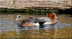 'side by side' (d-lilly) Tags: waterfowl ducks millerknoxregionalpark americanwigeon millerknox2017 wigeons eurasianwigeon northerncalifornia california canon7dmarkll nature