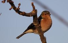 Chaffinch (stephen.reynolds) Tags: bird winter rsbp frampton blue sky chaffinch