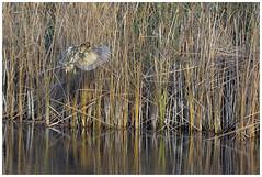 Incoming Flight. (vegetus aer) Tags: woodwaltonfen greatfen greatfenproject wildlifetrust bcnwildlifetrust nnr cambridgeshire wildlife bittern