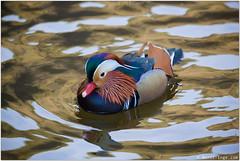 Mandarin Duck (Bernt-Inge) Tags: aixgalericulata berntingecom berntingeno canonef100400mmf4556lisiiusm canoneos1dxmarkii iso3200 kristiansand mandarinduck norway ravnedalen