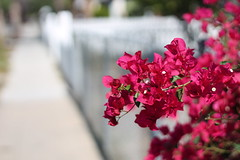 Happy Fence Friday (MomOfJasAndTam) Tags: fence flower flora red white picket sandiego hff fencefriday happyfencefriday street light sunny dof depthoffield plant tree bush bougainvillea