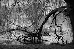 Mysterious (mennomenno.) Tags: boom tree zwartwit blackwhite mist wirwar