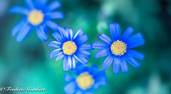 winter blue (frederic.gombert) Tags: blue flower flowers light sun sunlight color colors yellow tiny small colored winter macro nikon d810