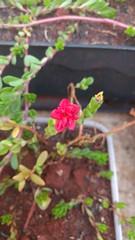 IMG_20161215_192208437 (Rodrigo Ribeiro) Tags: flor flower garden gardening jardim jardinagem nature natureza flores