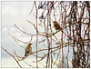 Redwings in Clematis ... ☺ (Tricia in Kent UK ....☺) Tags: redwings birds garden fields clematis outdoors hedgerows winterbird