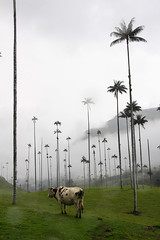 {Happiness is a cow in a palm forest}FCC164