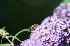 Biene (Christopher ) Tags: sal70400g2 70400mmf456gssmii lüdinghausen biene blume sony a77m2 nrw ilca77m2 flower germany deutschland