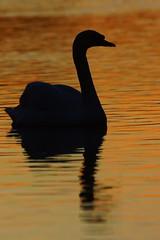 DSC05975 - Mute Swan (steve R J) Tags: mute swan river crouch hullbridge essex birds silhouette sunset reflection british