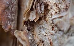 It's A-Peeling To Me (ertolima) Tags: macromondays itsapeelingtome bark tree peeling hmm birch