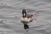 Full Stop (mausgabe) Tags: olympus em1 olympusm40150mmf28 olympusmc14 nyc centralpark thereservoir bird duck female bufflehead