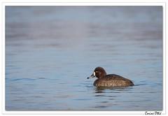 Juvénile (C. OTTIE et J-Y KERMORVANT) Tags: nature animaux oiseaux canards canardsplongeurs fuligules fuligulemorillon rhin alsace france