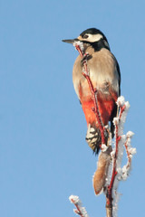Free icecream (kPepels) Tags: great spotted woodpecker ♀ grote bonte specht kenko extender
