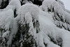 Spruce caked with snow (nikname) Tags: snow snowydays snowybranches snowytrees trees winter wintertrees citystreets