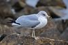 Portrait of a Ring Billed Gull (zuni48) Tags: gull seagull bird ringbilledgull sandypoint chesapeakebay