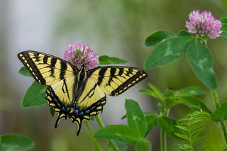 Papillon tigré du Canada / Canadian Tiger Swallowtail [Papilio canadensis]
