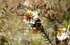 BUMBLEBEE on BEARDED HEATH (Lani Elliott) Tags: bumblebee bombusterrestris beardedheath leucopoguncollinus insect bee bees flower bokeh macro nature naturephotography tasmania