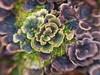 16/365 (Jane Simmonds) Tags: 16365 forestofdean nature fungi funghi lensbabysweet50 woodland trametesversicolor