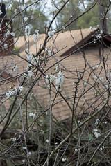IMG_7861 (armadil) Tags: plum plumtree plumtrees flower flowers plumflowers