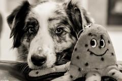 So put on a happy face (Jasper's Human) Tags: aussie australianshepherd octopus play