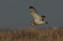 IMGP8514d Short-eared Owl, Burwell Fen, January 2017 (bobchappell55) Tags: shortearedowl burwellfen nature naturereserve nationaltrust wildlife wild bird birdsofprey flight asio flammeus
