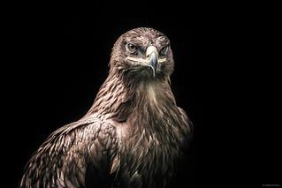 Heroic Eagle - Greifvogelpark Saarburg, Germany