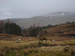 stag do (wild goose chase) Tags: stag scotland glenlyon lochandaimh