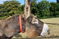 Dartanyan 2016 (daniellewootton) Tags: dartanyan braying donkey poitou animal donkeysanctuary devon sidmouth eastdevon summer donkeybraying
