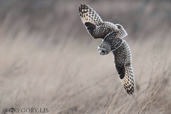 Short-eared Owl (Gregory Lis) Tags: shortearedowl asioflammeus nikond810 gorylis gregorylis washingtonstate owl outside