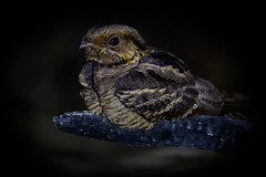 Large-tailed Nightjar | Caprimulgus macrurus | Burung Tukang Ekor Besar (Paul B Jones) Tags: largetailednightjar caprimulgusmacrurus burungtukangekorbesar baturakit terengganu malaysia asia animal nature wildlife night canoneos1dxmarkii ef500mmf4lisiiusm 14xiii asian malaisie maleisië 马来西亚 馬來西亞 malasia 말레이시아 マレーシア highiso nocturnal nightbird ef14xiiiextender oiseau aves vogel photo photograph image picture telephoto