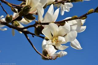 Magnolia blanc au bord du lac Léman (CH)