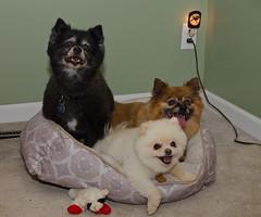 Perfect fit! (Joe Wicks) Tags: pets cute ikea dogs animals bed furry funny teddy lol pixie pomeranian poms furbabies pommies
