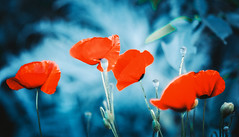 reds in the blue (Caucas') Tags: pink blue light red sea blur flower green ice true field rose azul contrast turkey dark corn nikon mood dof bokeh blu steel türkiye dream deep 85mm 7 retro bleu turquie türkei poppy poppies imagine mm blau nikkor f18 plantae pops ブルー blacksea karadeniz deniz mavi papaver 850 lean reddish kafkas çiçek yeşil scatto asul papaveraceae 藍色 sininen rhoeas buz sinop 7000 85mmf18 gelincik синий caucas أزرق magnoliophyta çelik turkuvaz नीला d7000 ლურჯი плава 85mmf18g