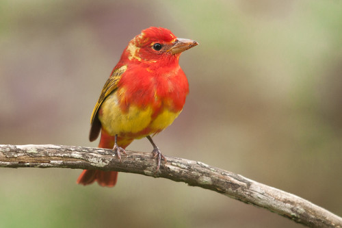Juvenile summer tanager - photo#23